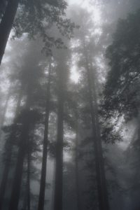 Young Redwoods in Fog