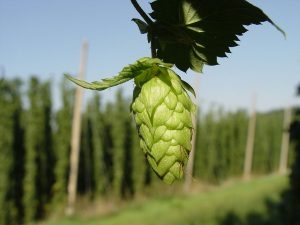 Hops Flower in Hallertau Cermany. Courtsey of Wikipedia