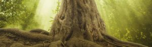 Giant Tree Base and Roots