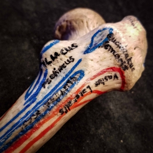 Cadaver Bone with medical markings